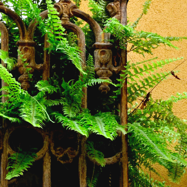 Ferns in Sorrento~1835-3sq.