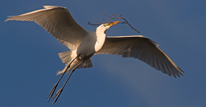 Great Egret flight with nesting material