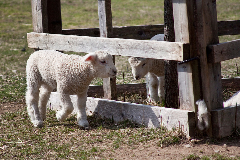 Lamb Friends.jpg