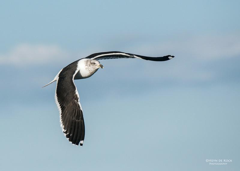 Kelp Gull, imm, Wollongong Pelagic, NSW, Aus, Aug 2012-1.jpg