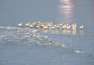 Shore Birds 4991