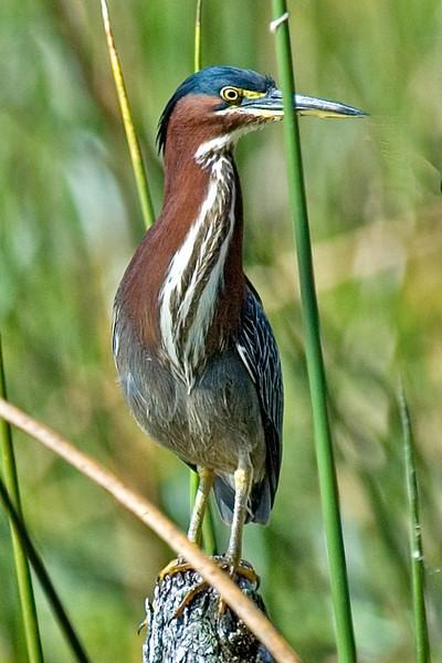 Heron - Green - Wakulla Springs State Park, FL