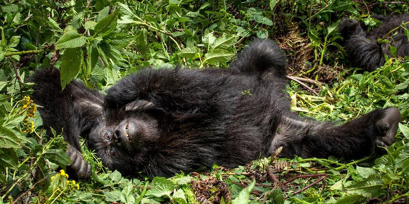 lounging gorilla.jpg