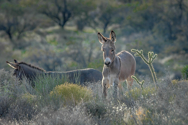 Red Rock Canyon State Park, Nevada Wild  Burros