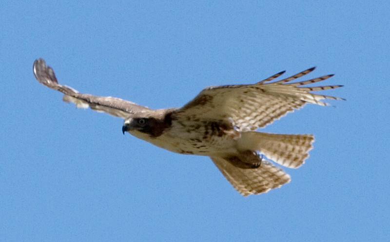 Red-shouldered hawk in flight, Houston