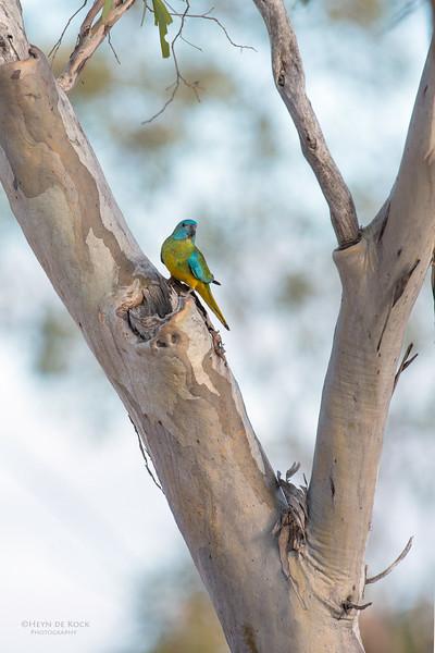 Scarlet-chested Parrot, f, Gluepot, SA, Aus, Nov 2014-2 copy.jpg