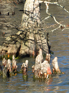 Knee-Deep in Cypress Knees, part 1