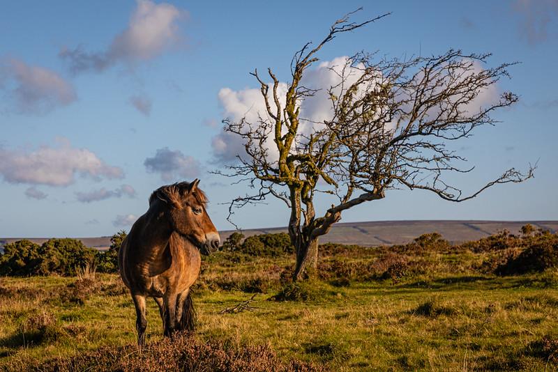 Morag - Exmoor Pony and Tree