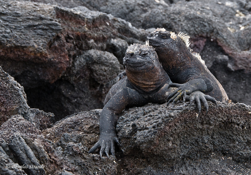 Marine Iguanas are BFF's at Punta Espinoza, Fernandina Island
