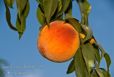 Rio Grande Peach - Prunus persica sp.