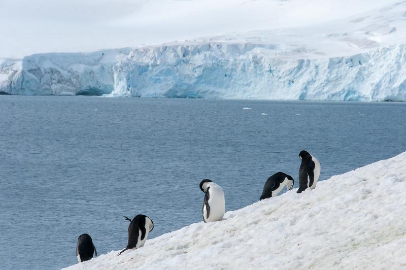 Colony of chinstrap penguins in Half Moon Island, Antarctica