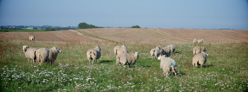 Sheep Booty