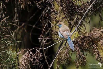 Little Blue Waxbill