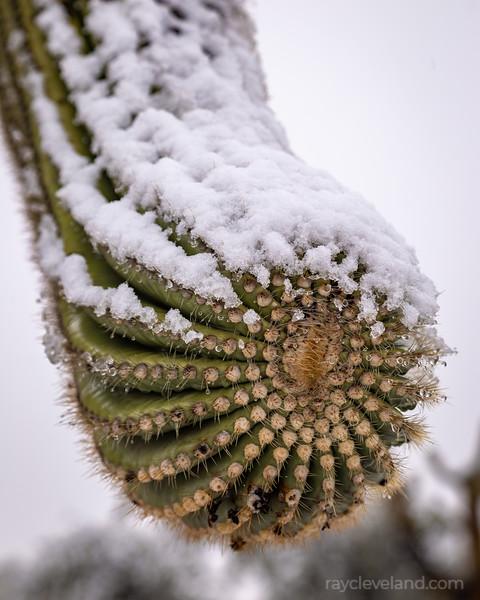 Snowy Sonoran Handshake