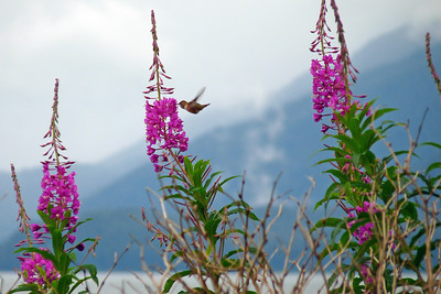 DAY 210 - July 29, 2011 - Rufous Hummingbird Sipping Nectar From Fireweed Cynthia Meyer, Tenakee Springs, Alaska