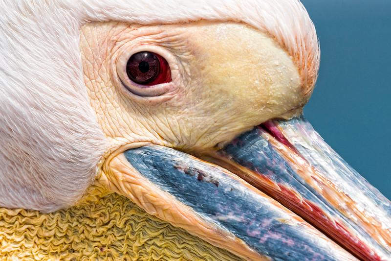 pelican detall.jpg