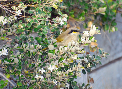 Honeyeaters and Chats