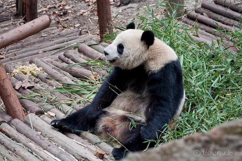 panda_sitting_Chengdu_Sichuan_China.jpg