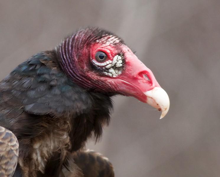 Turkey Vulture Sax-Zim Bog MN IMG_6611.jpg