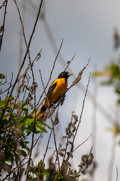 baltimore oriole resting on branches