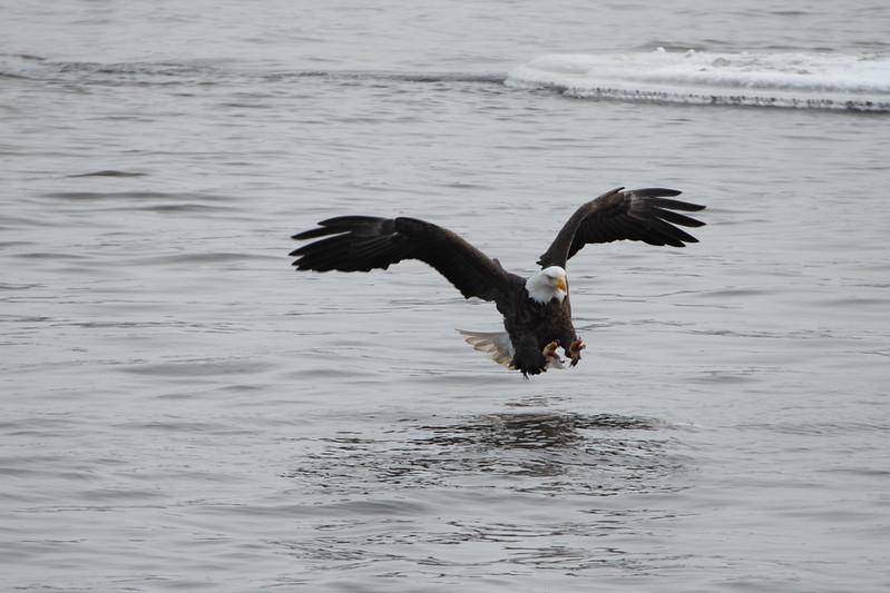Loc-n-Dam 14-Eagles-Jan 2011_0020.jpg