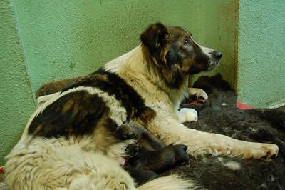 2009-03-23, Alabaya metis with newborn puppies