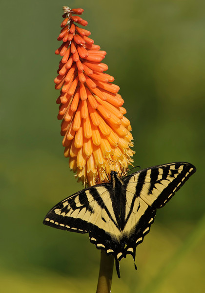 Western Tiger Swallowtail butterfly on a Torch Lily