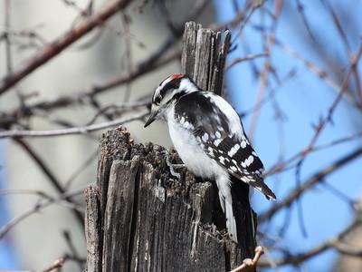 20200407 Downy Woodpecker