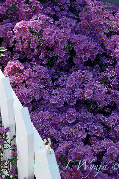 Symphyotrichum novae-angliae 'Purple Dome'_9732.jpg