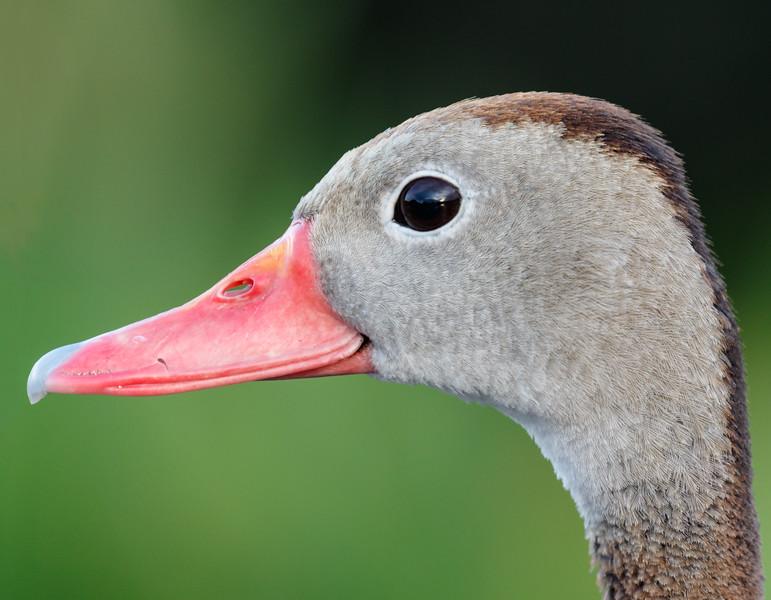 Blackbelly Whistling Duck-8968.jpg