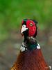 Pheasant Portrait