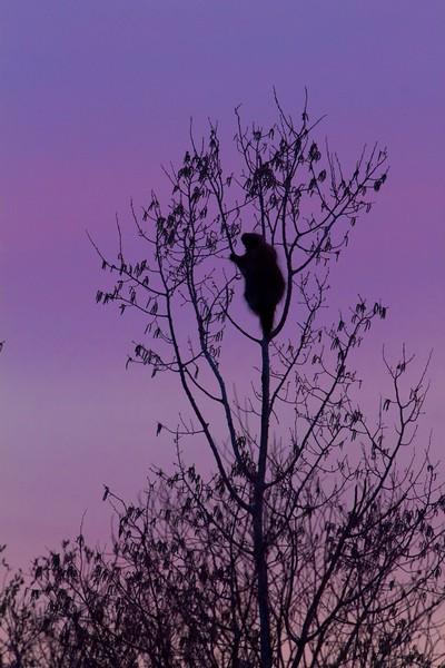 Porcupine silhouette Stone Lake Road Sax-Zim Bog MN IMG_7565.jpg