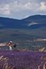 Lavender Harvester, Provence, France