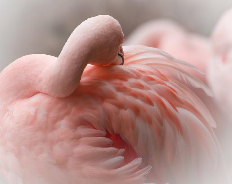 Chilean Flamingo, Chile