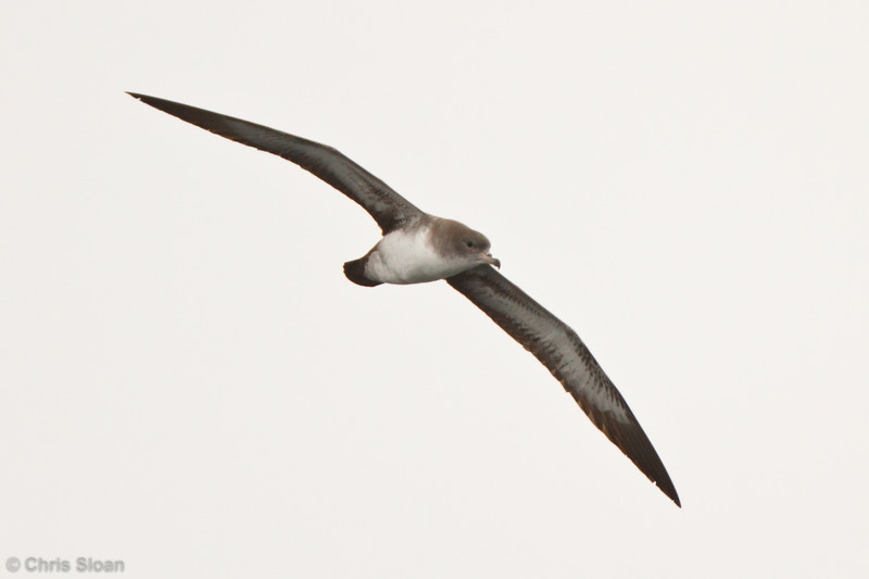 Pink-footed Shearwater at pelagic out of Bodega Bay, CA (10-15-2011) - 646.jpg