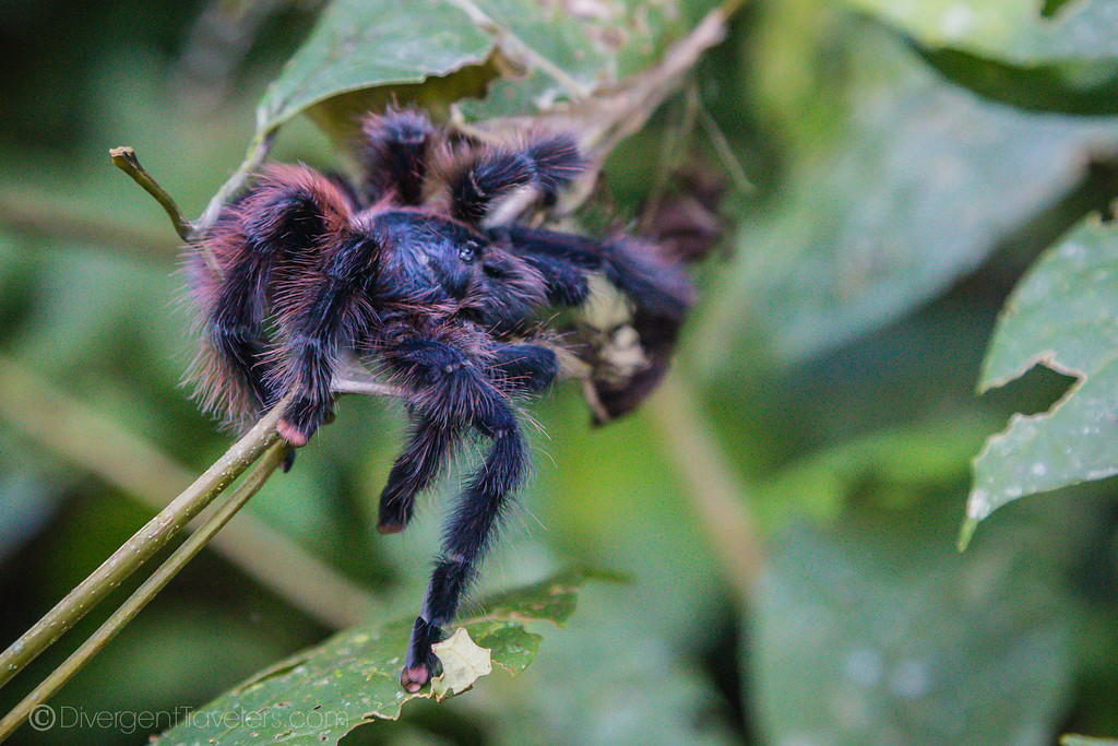 Tambopata Research Center - Tarantula - Lina Stock