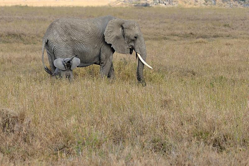 Elephant-with-calf-behavior.jpg