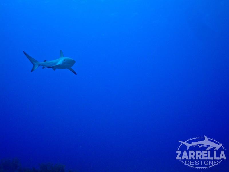 """""""Caribbean Reef Shark"""" (Proselyte Wreck, St. Maarten)"""
