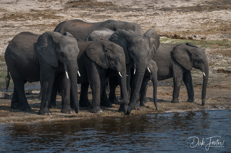Elephants Waiting for Orders to Cross Chobe River