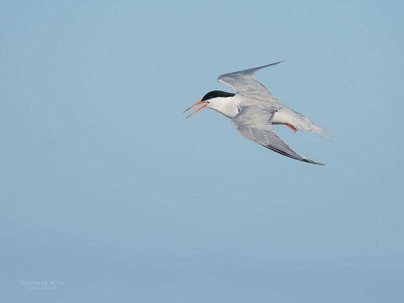 Roseate Tern, Lady Elliot Island, QLD, Dec 2015-19.jpg