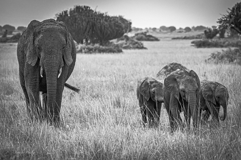 elephants walking B&W.jpg