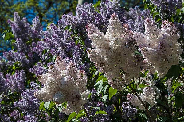 Genus Syringa - Lilacs