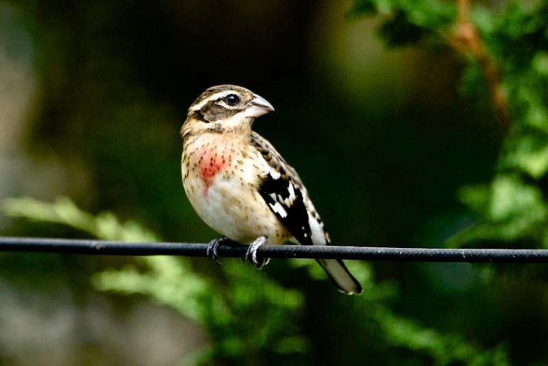 Rose-breasted Grosbeak-Juvenile Male 1 - Version 2.jpg