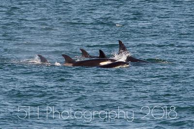 Orcas in the Salish Sea (WA)