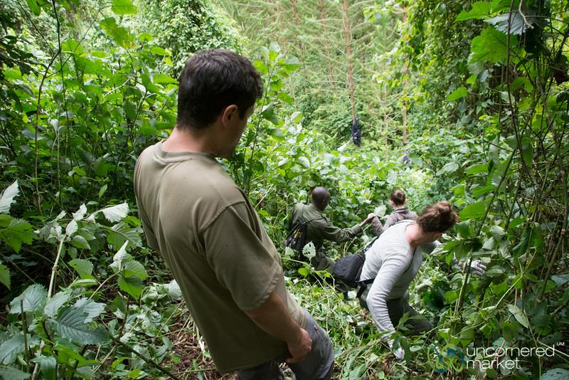 Gorilla Trekking, Climbing Through Forest - Bwindi National Park, Uganda