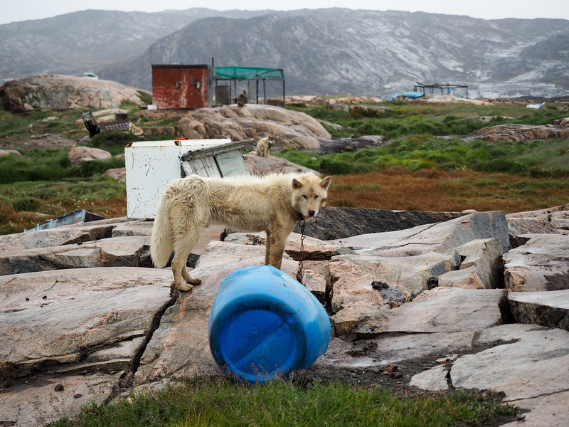 Sled dog in Ilulissat, Greenland