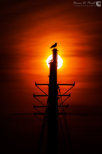Seagull on the Margaret Todd