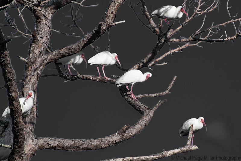 Florida Birds 09-03-18_2016.jpg