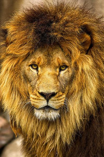 Lion FSS.jpg