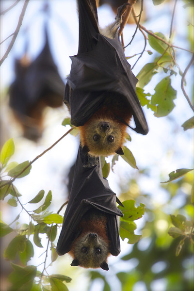 Grey-headed flying-foxes, Maroochydore, Australia